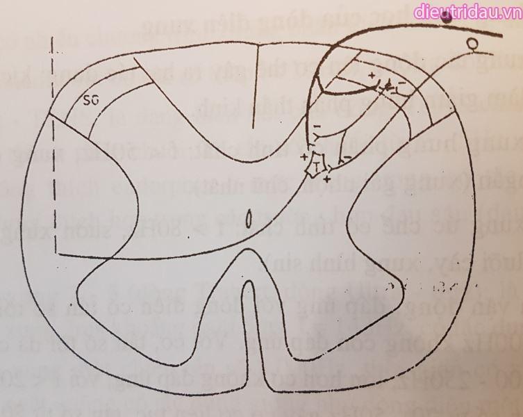 Hình 9. Sơ đồ các neuron dẫn truyền cảm giác từ ngoại vi vào tủy sống.