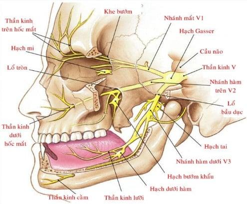 Thần kinh trên hố (Nhánh của thần kinh V1)